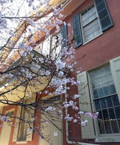 Cherry blossoms in front of the Race Street Quaker Meetinghouse